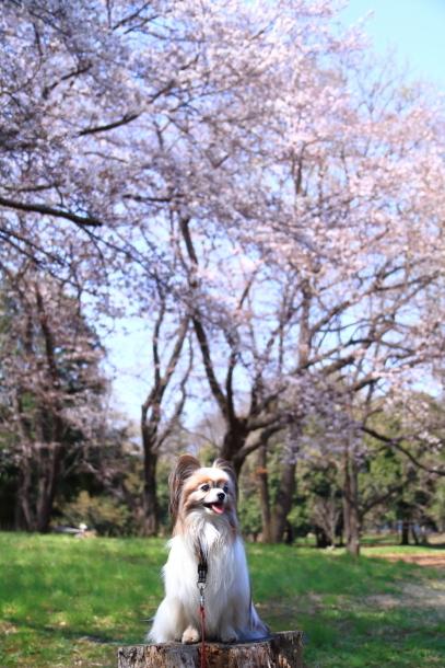 野川公園 お花見00009442