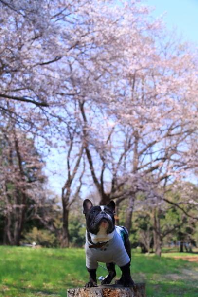 野川公園 お花見00009448