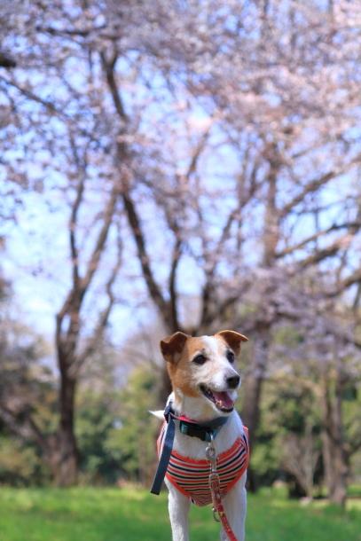 野川公園 お花見00009449