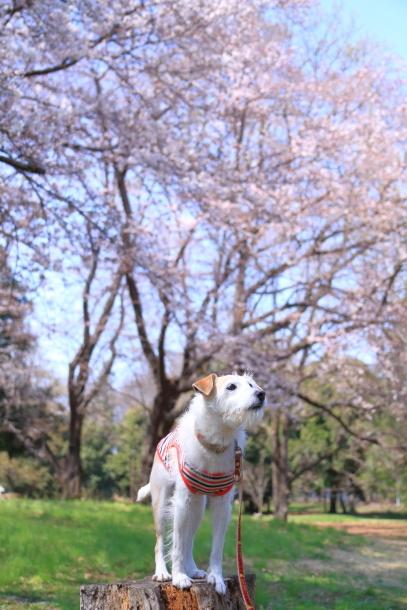 野川公園 お花見00009456