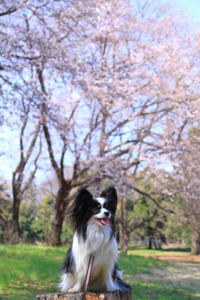 野川公園 お花見00009459