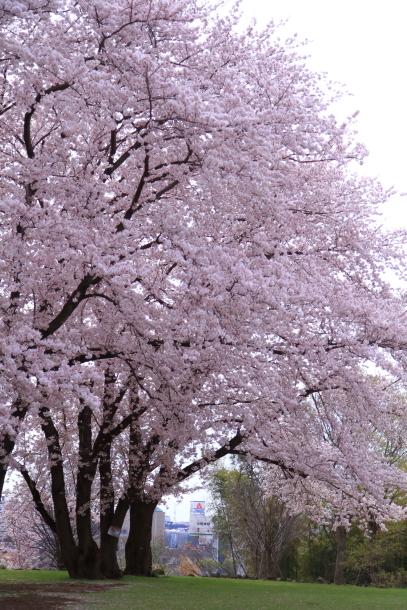 満開の桜00010726