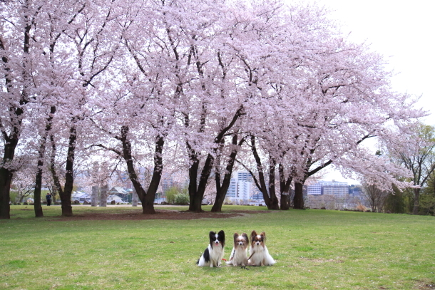 満開の桜00010724