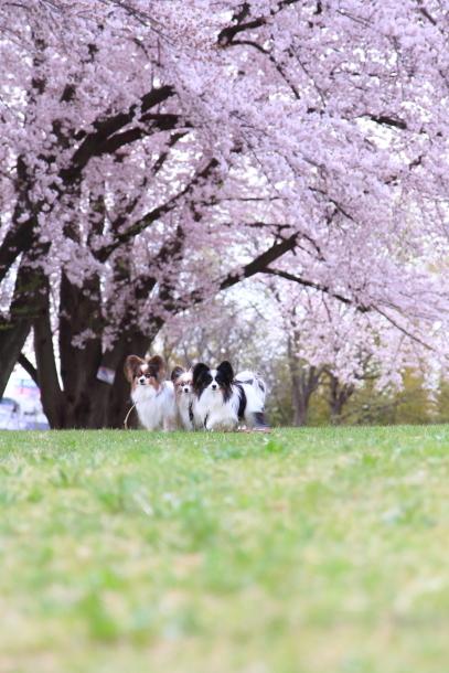 満開の桜00010731