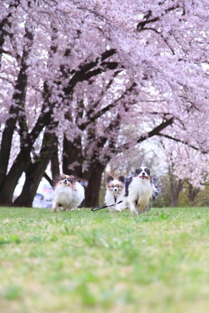 満開の桜00010736