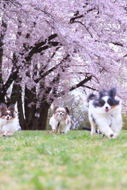満開の桜00010738