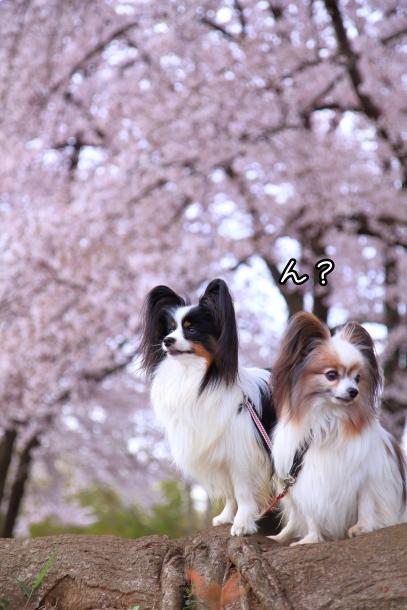 満開の桜00010748