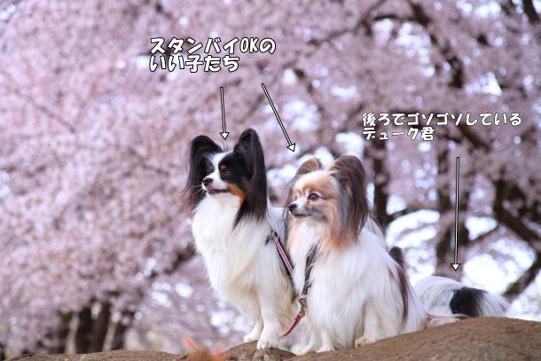 満開の桜00010749