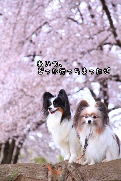 満開の桜00010750