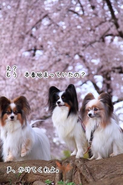 満開の桜00010752