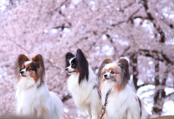 満開の桜00010753