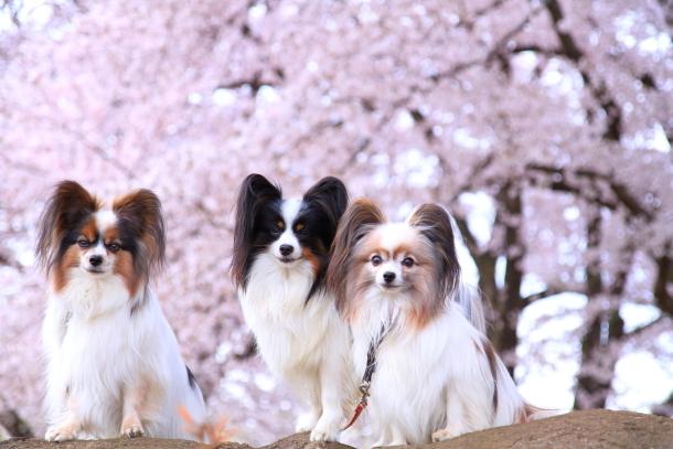 満開の桜00010757