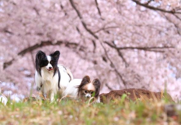 満開の桜00010788