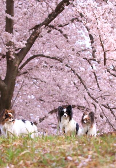 満開の桜00010790