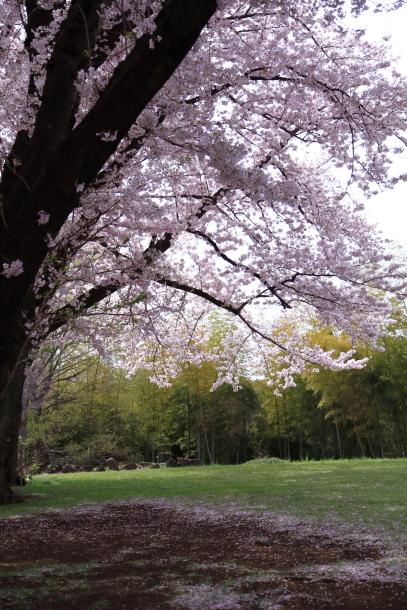 満開の桜00010803