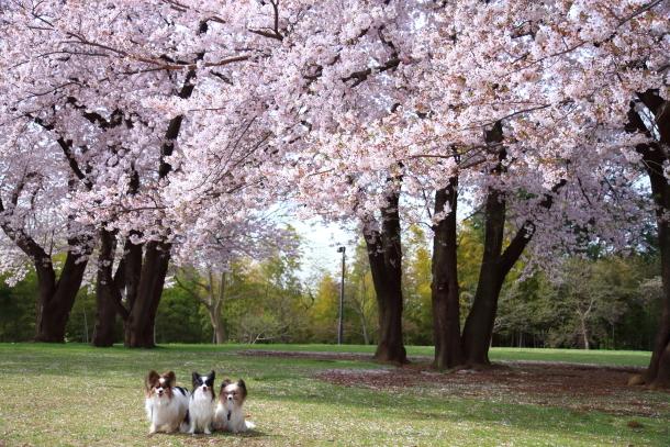 満開の桜00010797