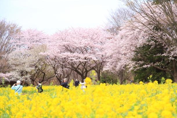 満開の桜00010832
