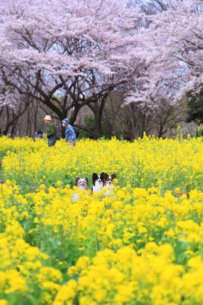 満開の桜00010835