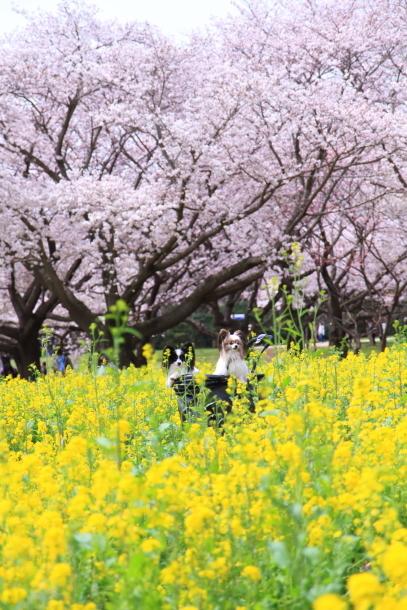 満開の桜00010838