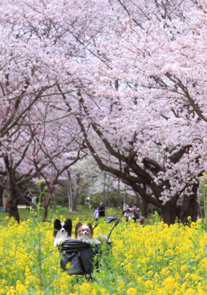 満開の桜00010840