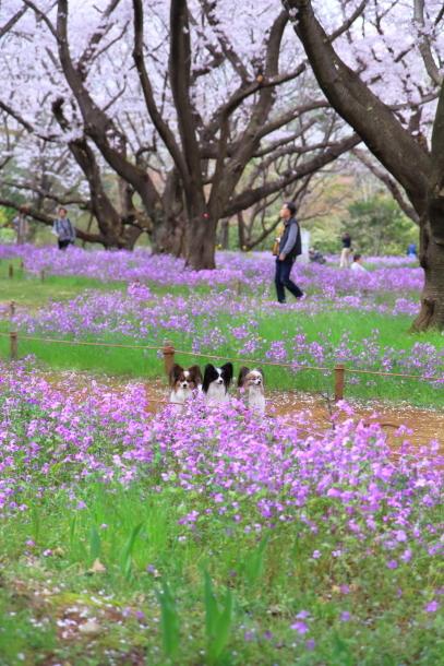 満開の桜00010872