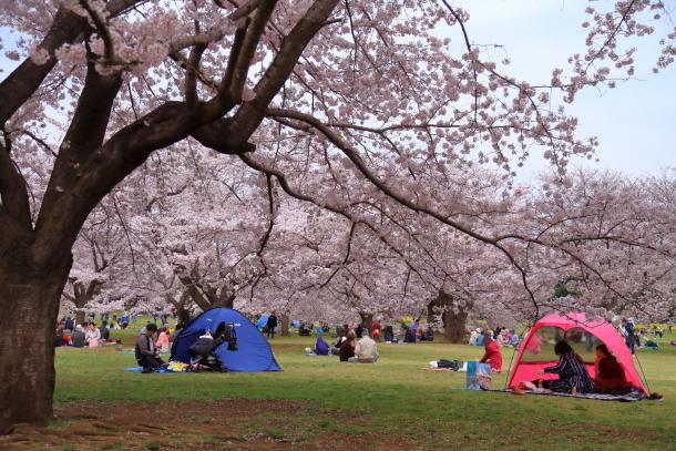 満開の桜00010878