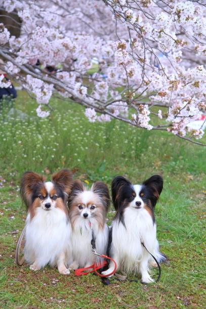 満開の桜00010871