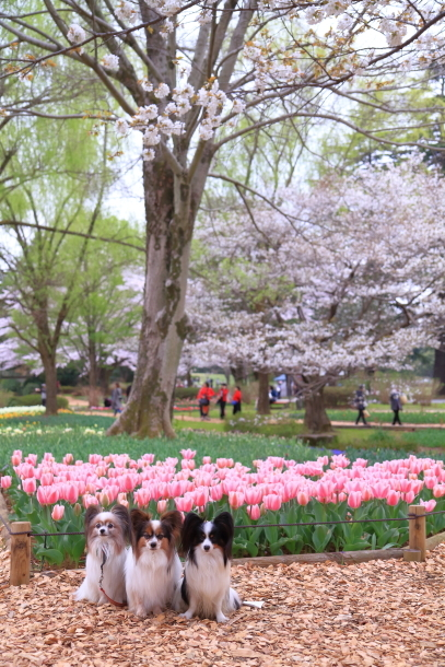 満開の桜00010880