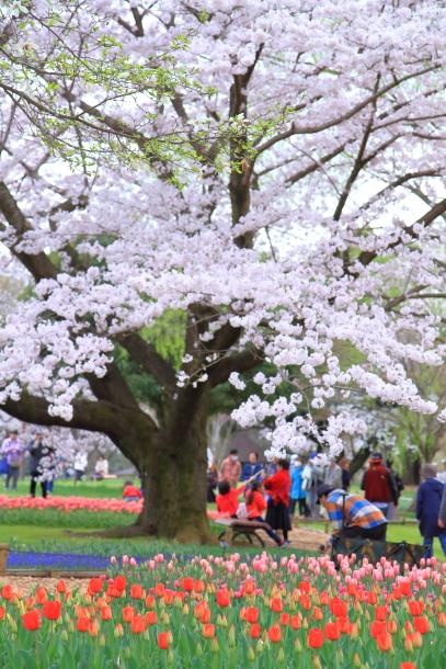 満開の桜00010889