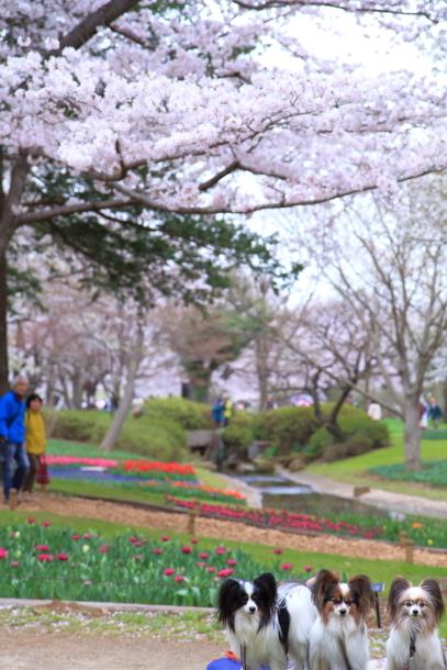 満開の桜00010900