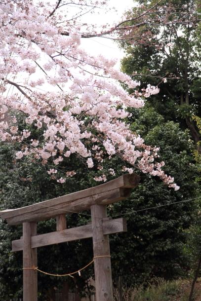 近所の桜100010435
