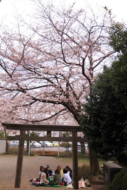 近所の桜100010437