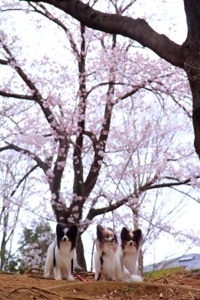 近所の桜2 00010500