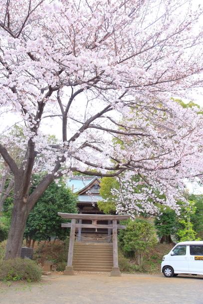 近所の桜2 00010505