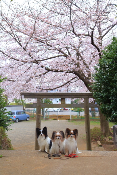 近所の桜2 00010518