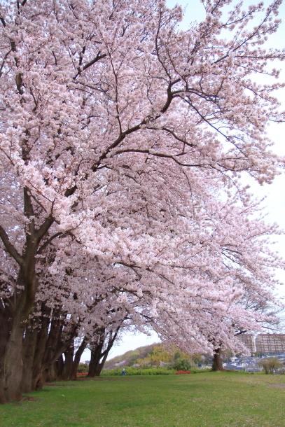満開の桜00010761