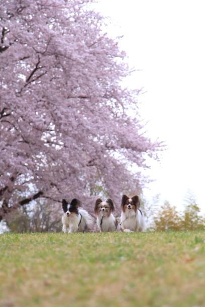 満開の桜00010727