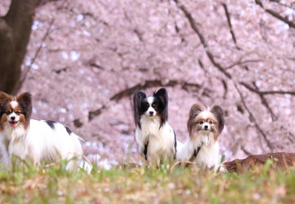 満開の桜00010789