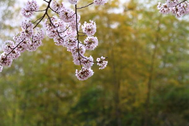 満開の桜00010791