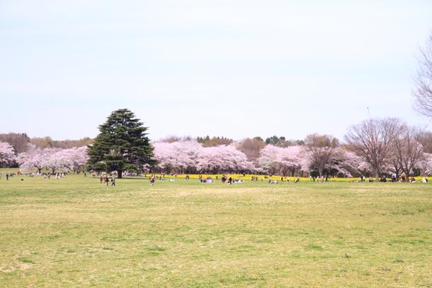 満開の桜00010829