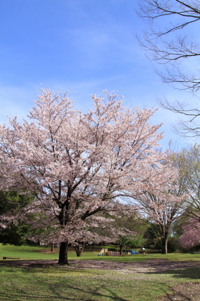 ふるさと公園のソメイヨシノ00011319
