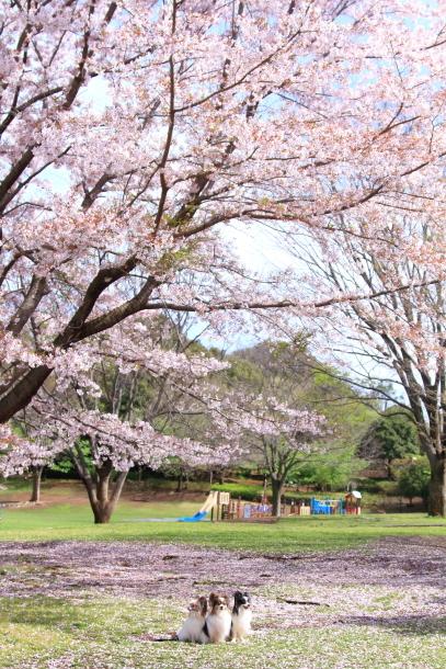 ふるさと公園のソメイヨシノ00011333