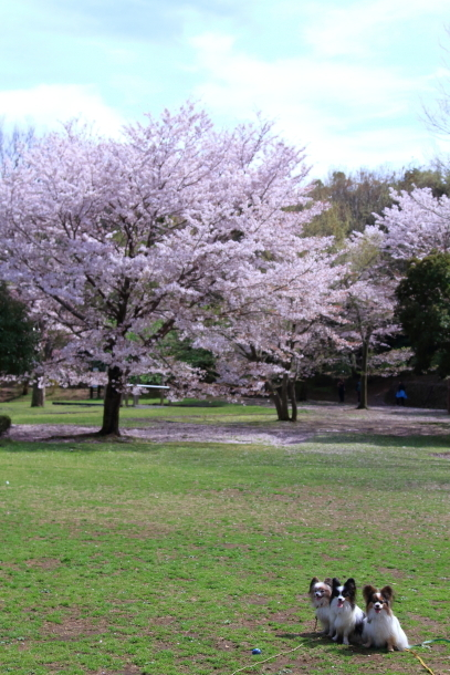 ふるさと公園のソメイヨシノ00011445