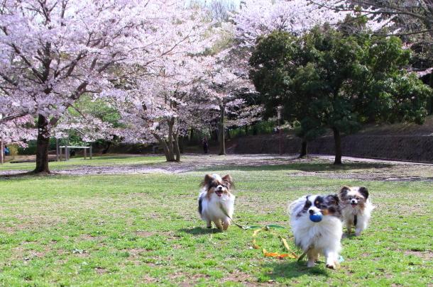 ふるさと公園のソメイヨシノ00011448