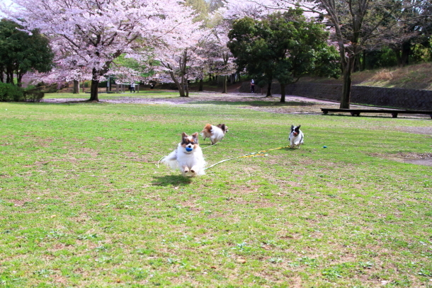 ふるさと公園のソメイヨシノ00011349