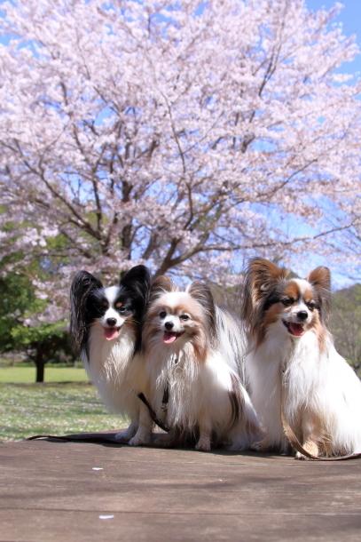 ふるさと公園のソメイヨシノ00011511