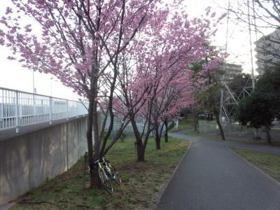 桜一輪 鶴見川