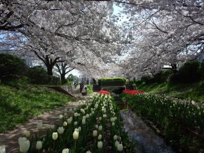 江川緑道の桜とチューリップ