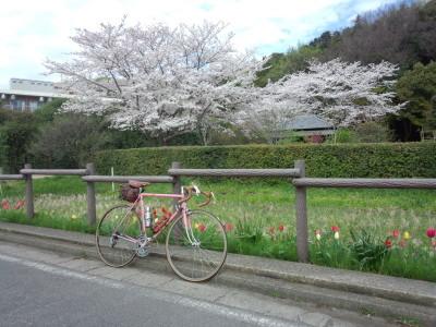 獅子ヶ谷の桜