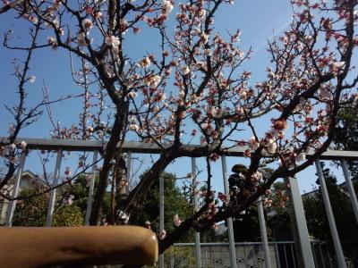 二ヶ領用水 桃の花